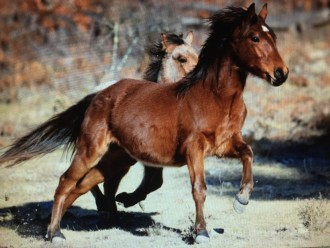 Beate Sommer's Brumby, Elvis, who is now three-and-a-half, as a yearling at the New England Brumby Sanctuary.