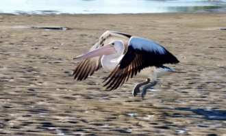 Coming into land - a pelican at Brunswick Heads